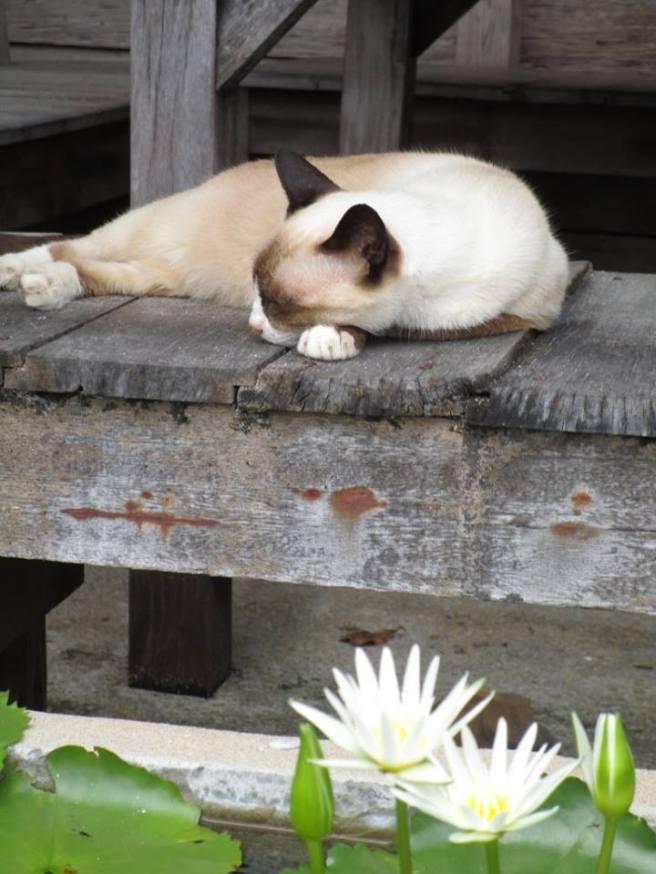 island cat thailand
